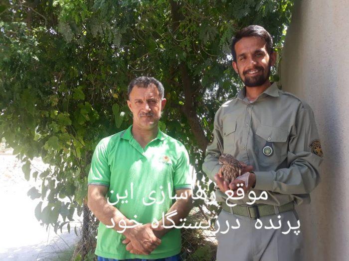 تیمار و رهاسازی سه بهله دلیجه ،گونه ای از پرندگان شکاری  با همکاری اداره محیط زیست مسجدسلیمان