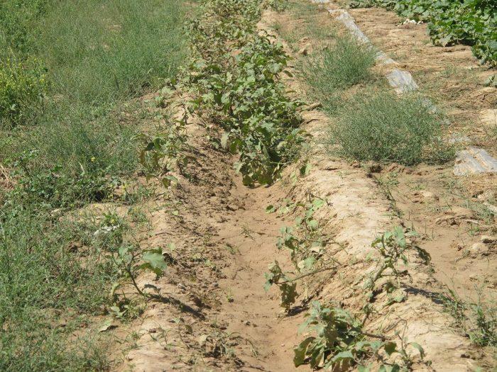 بارندگی بیش از ۱۲ میلیارد ریال به کشاورزی گتوند خسارت زد