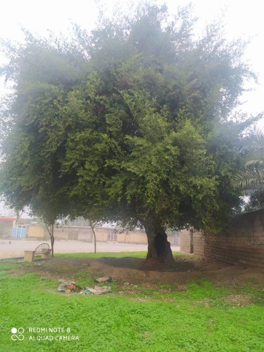 آتش زدن درخت قدیمی کُنار (سدر) امام زاده شاه ابوالحسن (ع) شهر جنت مکان برای چندمین بار + تصاویر