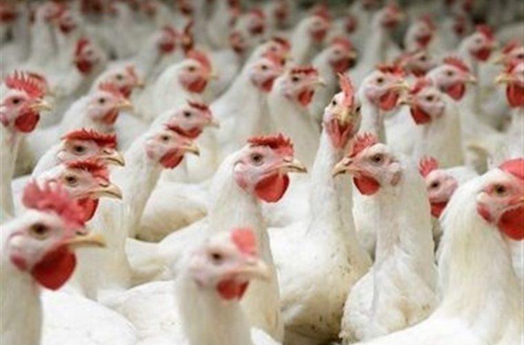 کمبود مرغ در خوزستان نتیجه رانت یا بیتدبیری است؟