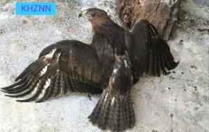 کشف یک بهله عقاب دو برادر در مسجدسلیمان + عکس