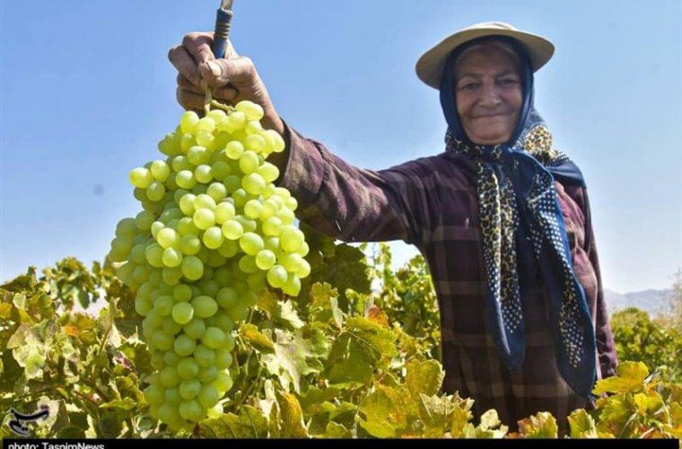 برداشت انگور از تاکستانهای استان خوزستان به روایت تصویر