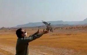 یک قطعه پرنده باقرقره شکم سفید(کوکر) پس از تیمار در طبیعت هندیجان رهاسازی گردید