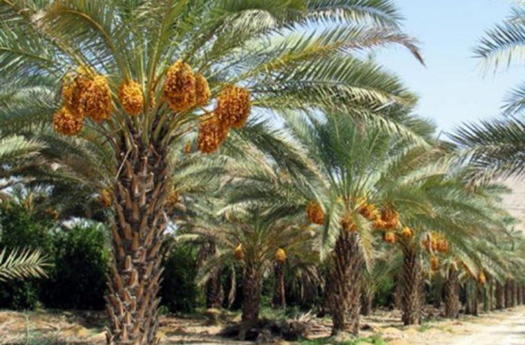 آغاز برداشت و خرید خرما از سطح نخلستانهای شهرستان هندیجان