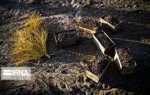 خرید تضمینی خرمای استعمران در خوزستان به ۱۵ هزار تن رسید